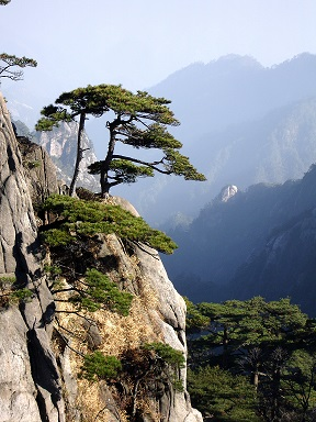 Huangshan_mountain_peak_pine_trees